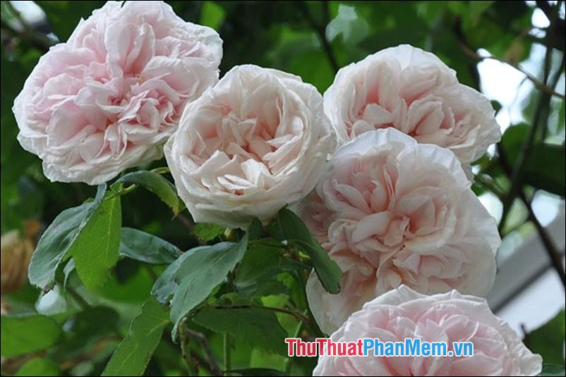 Hoa hồng Bourbon - 1