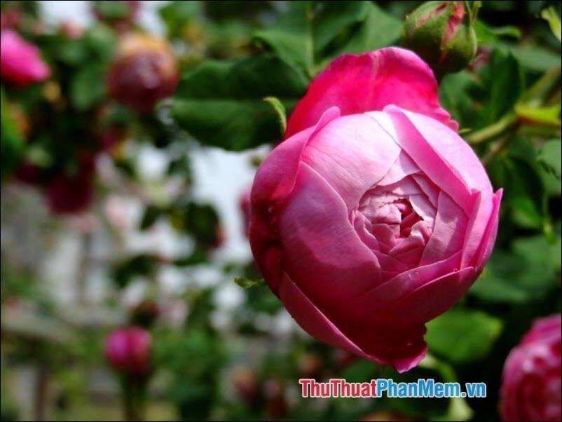 Hoa hồng Bourbon - 4