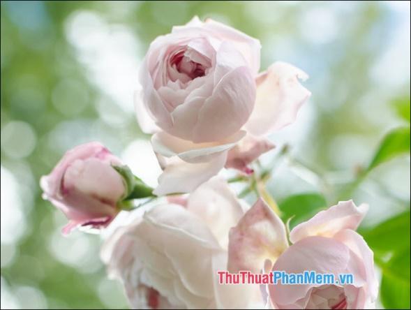 Hoa hồng Bourbon - 5