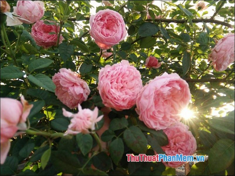 Hoa hồng climbers - 1