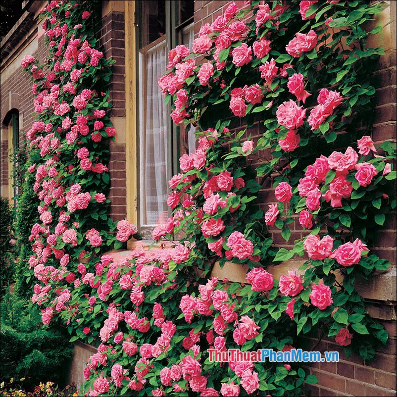 Hoa hồng climbers - 4