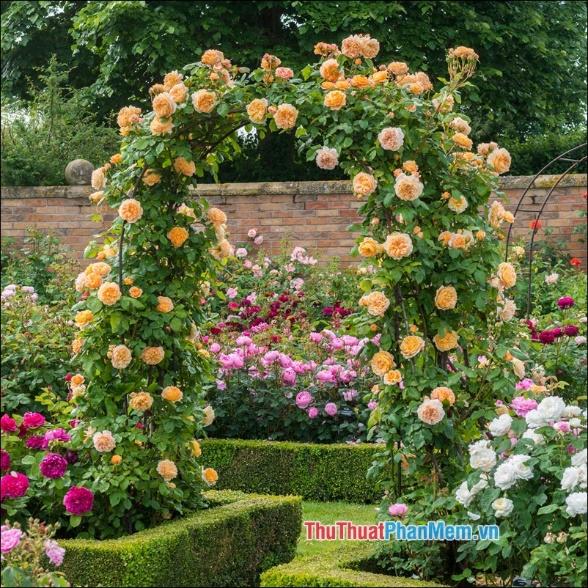 Hoa hồng climbers - 5