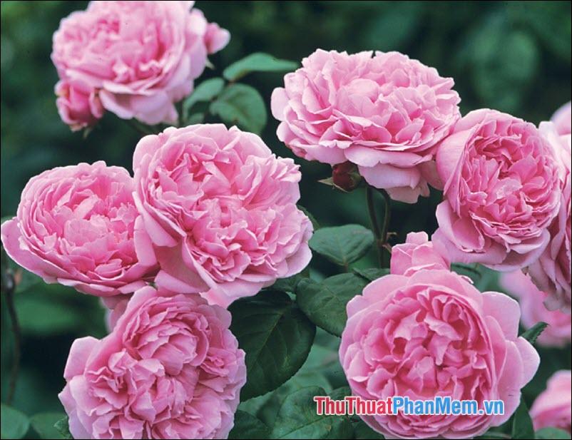 Hoa hồng Damask - 1