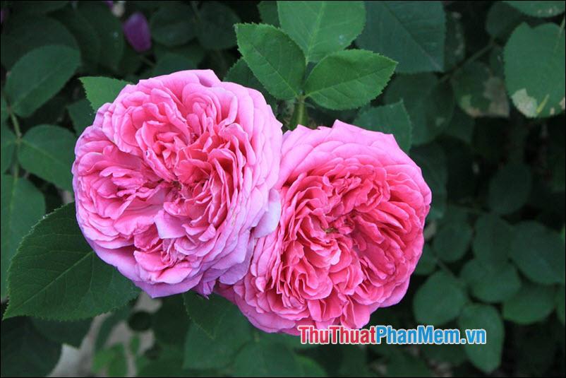 Hoa hồng Damask - 2