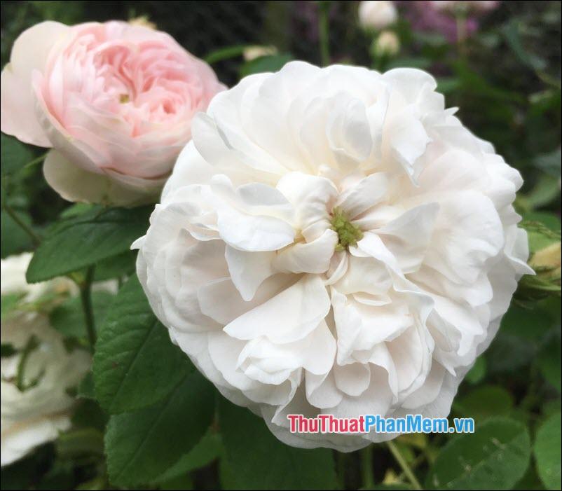 Hoa hồng Damask - 3