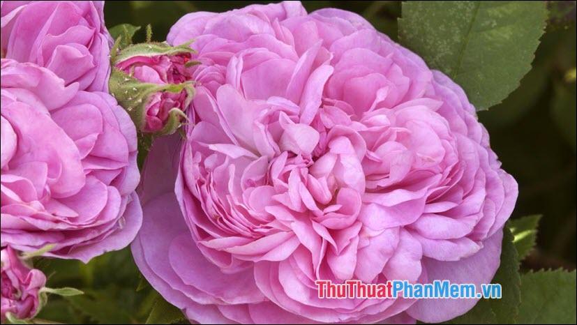 Hoa hồng Damask - 4