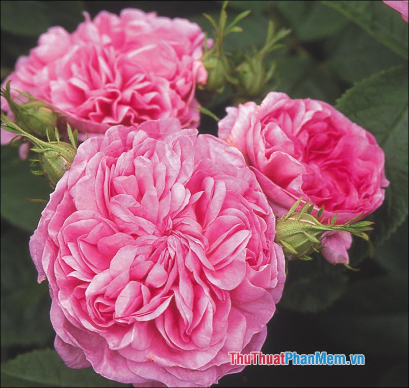 Hoa hồng Damask - 5