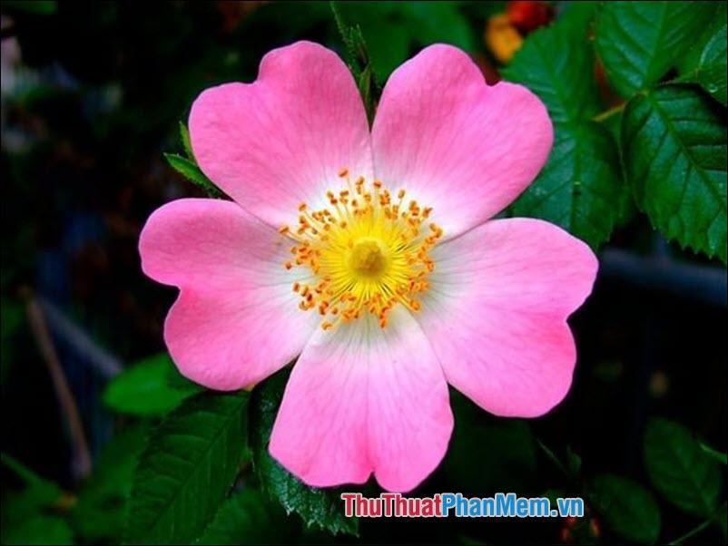 Hoa hồng Eglanteria - 2
