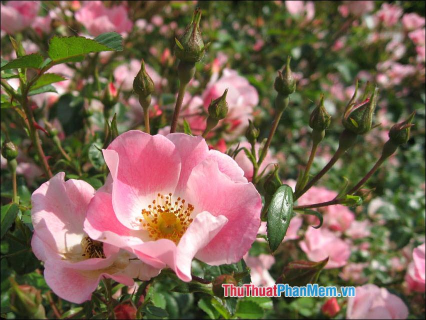 Hoa hồng Eglanteria - 3