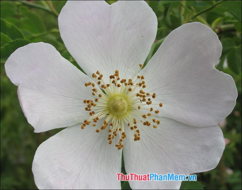 Hoa hồng Eglanteria - 4