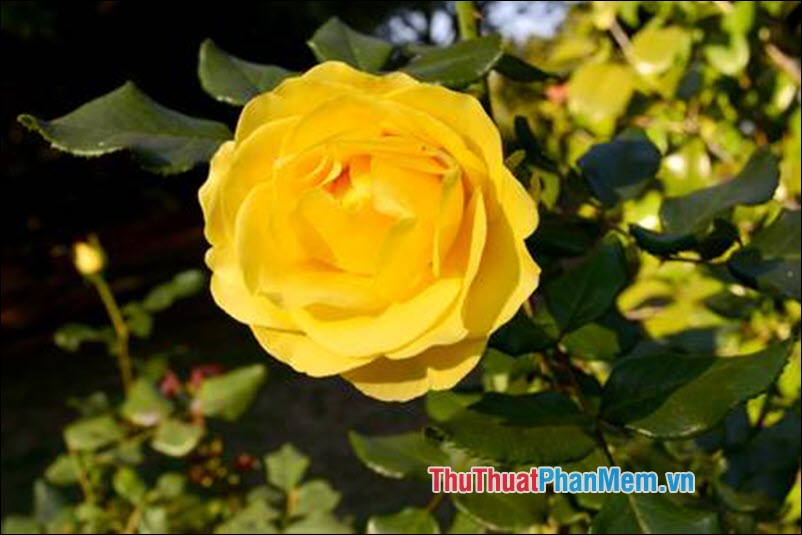 Hoa hồng Eglanteria - 5