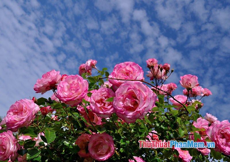 Hoa hồng Gallica - 1