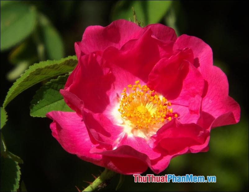 Hoa hồng Gallica - 2