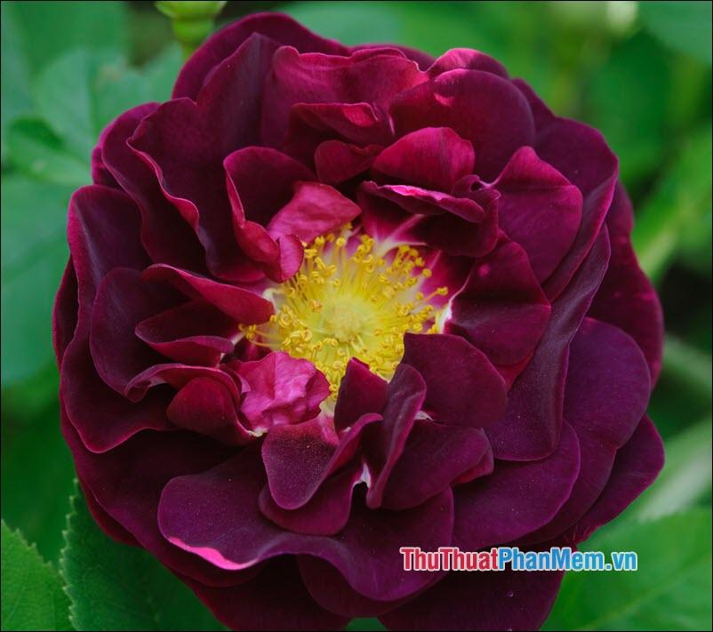 Hoa hồng Gallica - 3