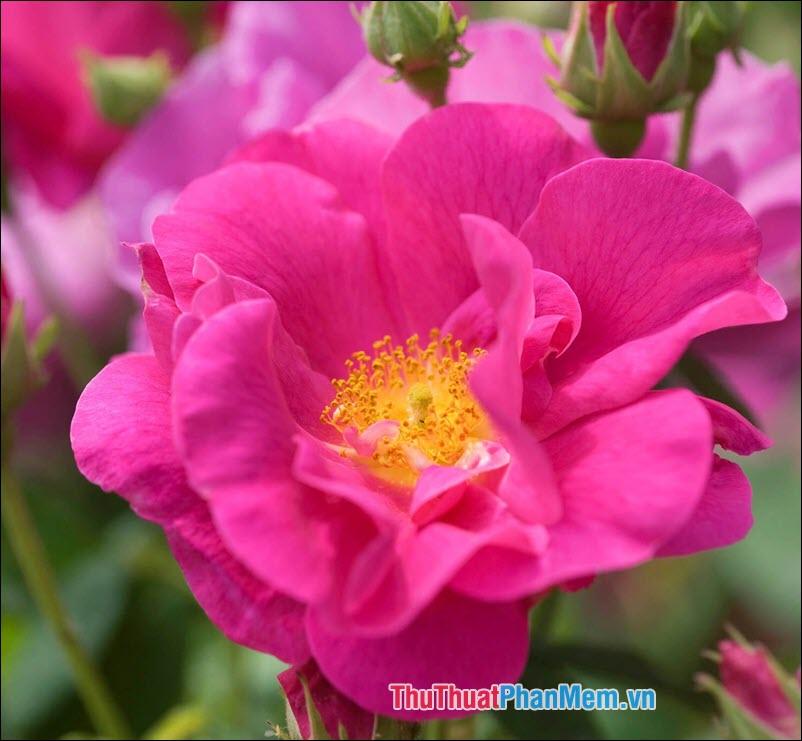 Hoa hồng Gallica - 4