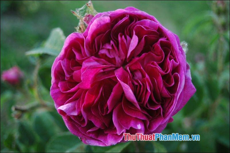 Hoa hồng Gallica - 5