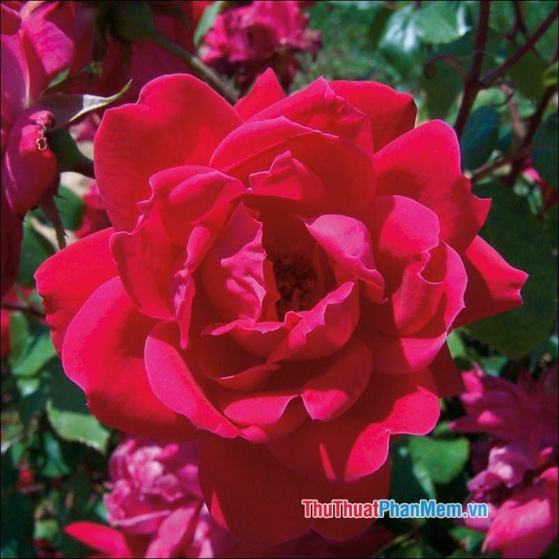 Hoa hồng Knockout - 2