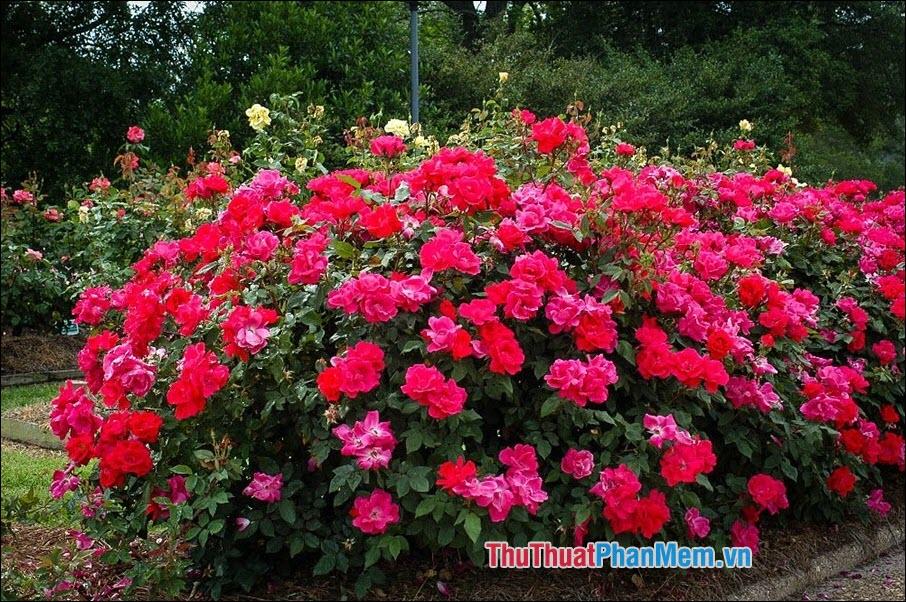 Hoa hồng Knockout - 4