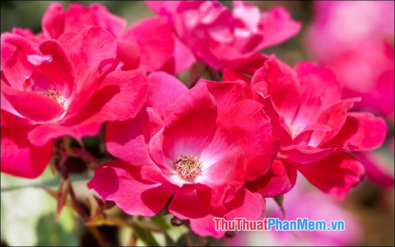 Hoa hồng Knockout - 5