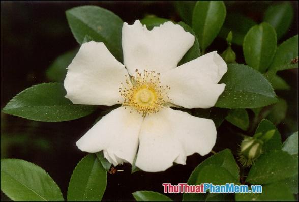 Hoa hồng Laevigata - 1