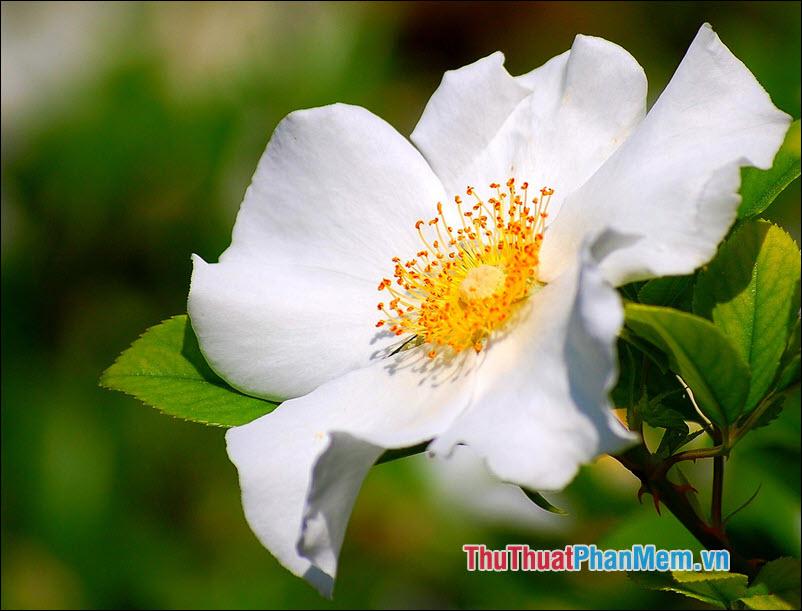 Hoa hồng Laevigata - 2