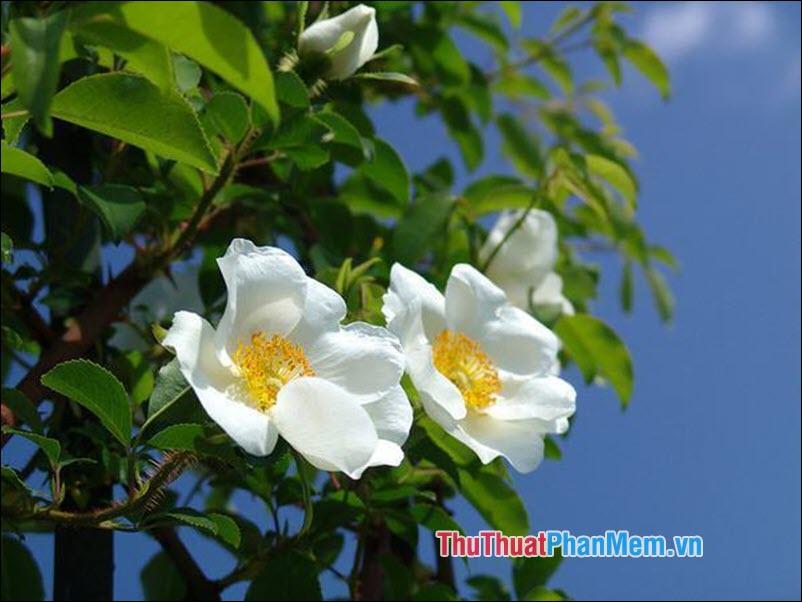 Hoa hồng Laevigata - 4