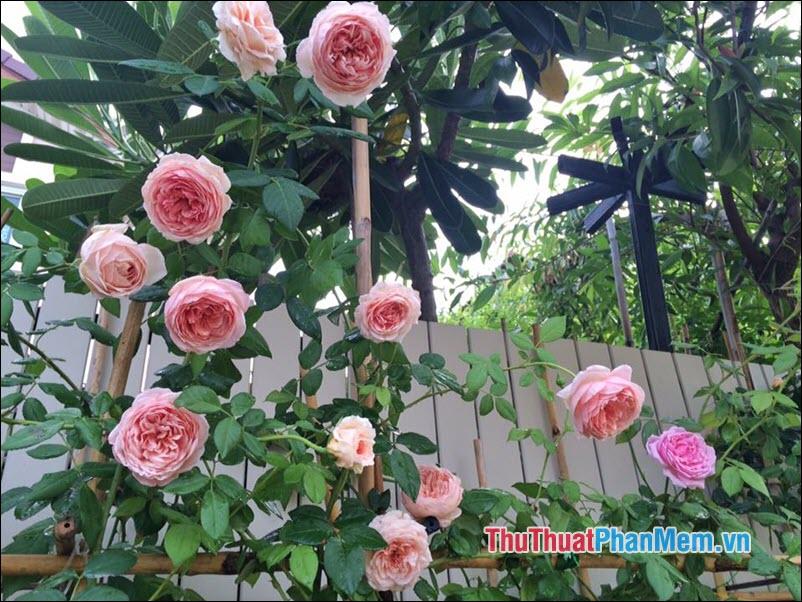 Hoa hồng leo - 1