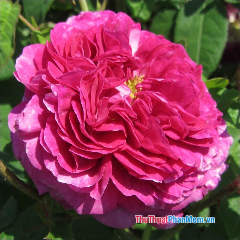 Hoa hồng Louis Phillippe - 4