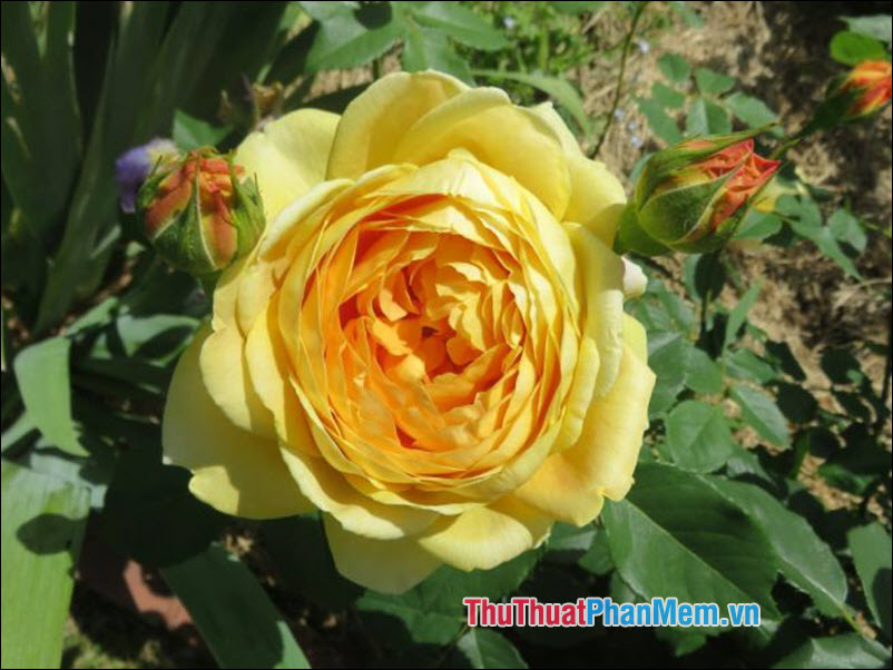 Hoa hồng Louis Phillippe - 5