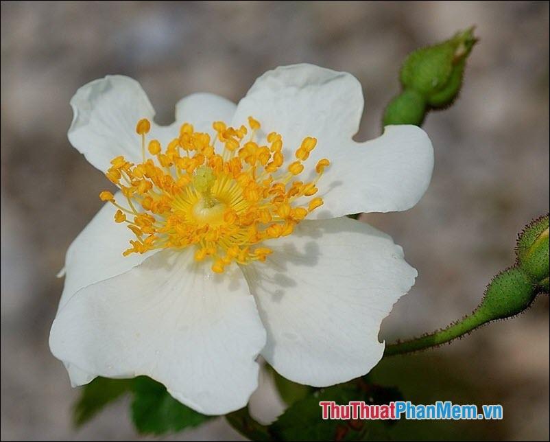 Hoa hồng Sempervirens - 1