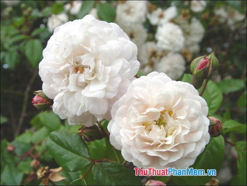 Hoa hồng Sempervirens - 2