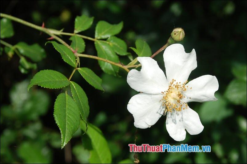 Hoa hồng Sempervirens - 3
