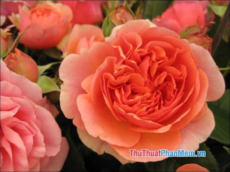 Hoa hồng Sempervirens - 4