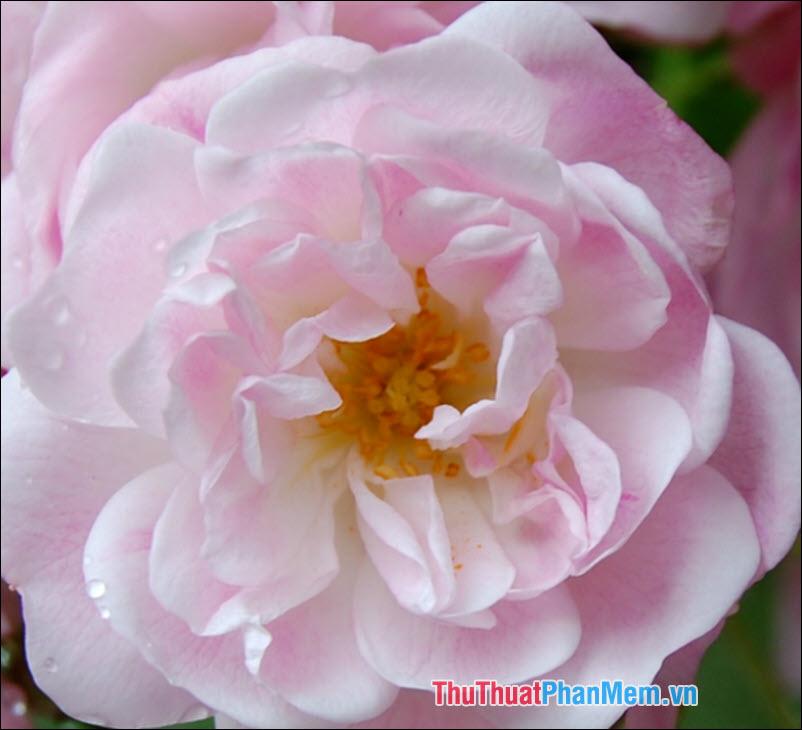 Hoa hồng Sempervirens - 5