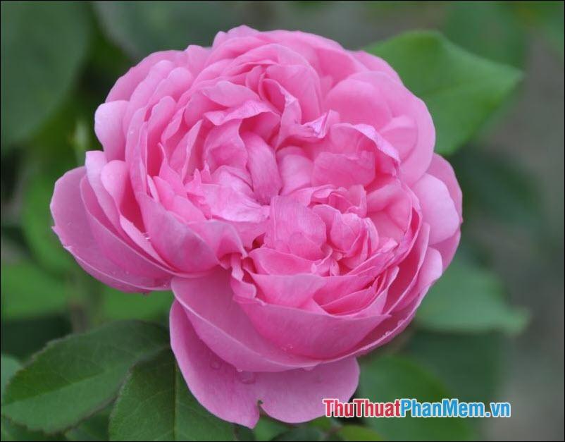 Hoa hồng trà Etoile de Lyon - 1
