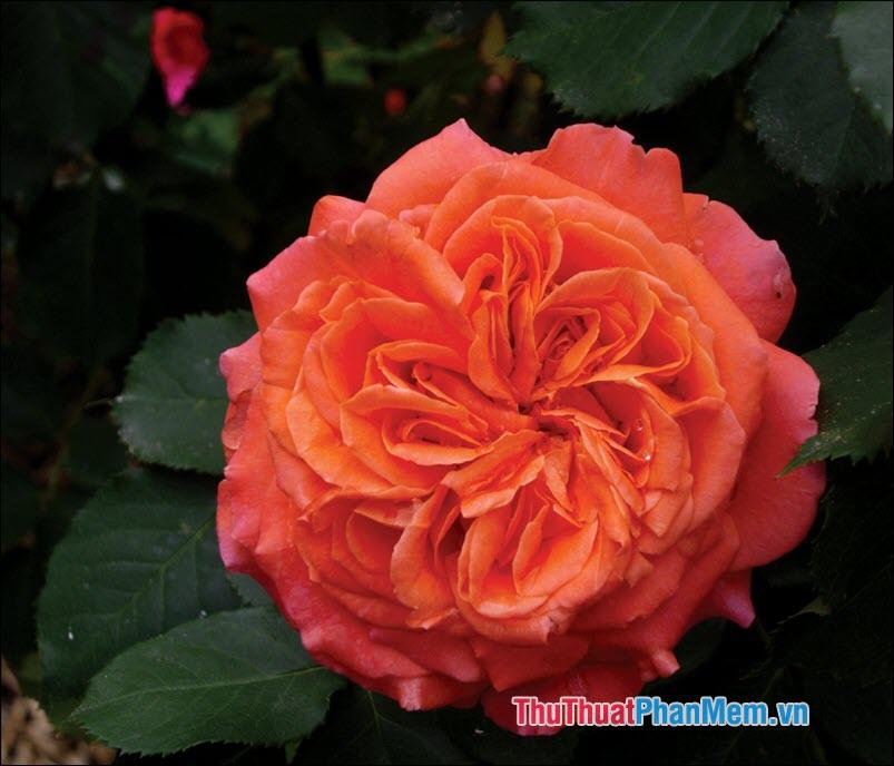 Hoa hồng trà Etoile de Lyon - 3