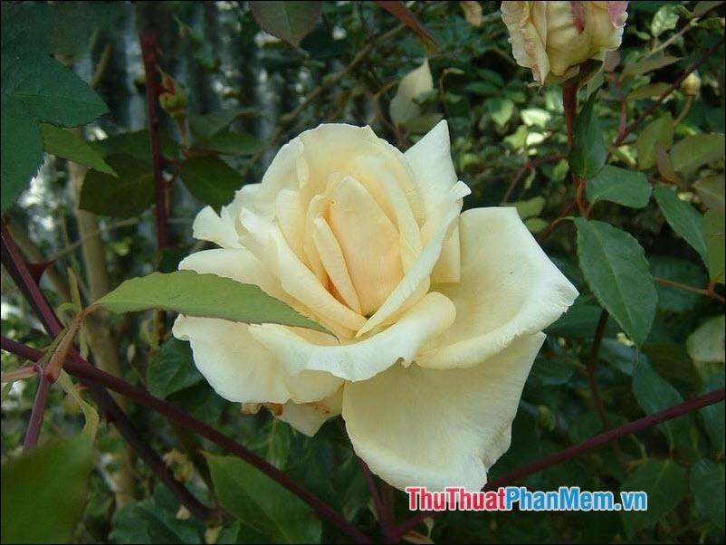 Hoa hồng trà Etoile de Lyon - 4