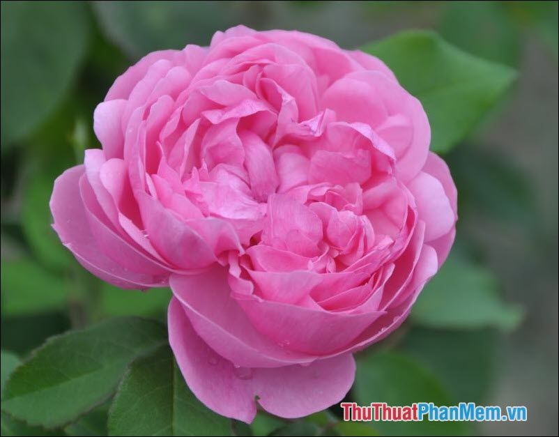 Hoa hồng trà Etoile de Lyon - 5