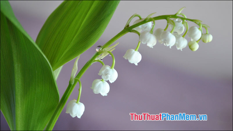 Lily of the Valley (Hoa Linh Lan) - 1