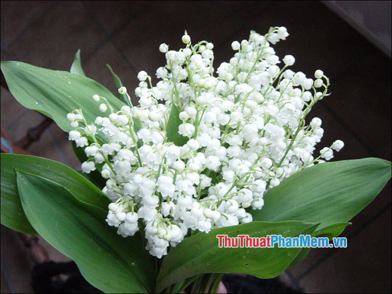 Lily of the Valley (Hoa Linh Lan) - 2