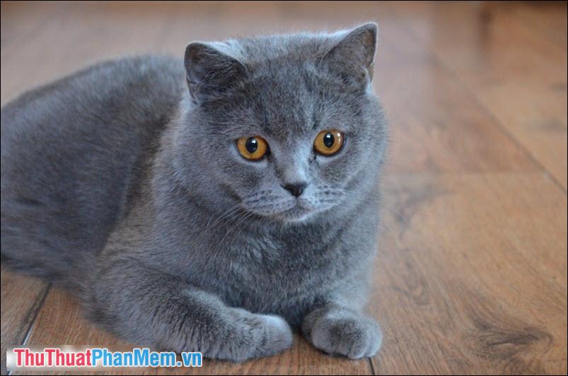 Mèo Anh lông ngắn