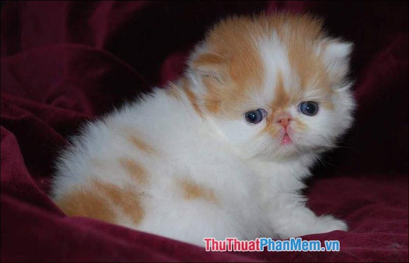Mèo Ba Tư – Mèo Ba Tư mặt tịt