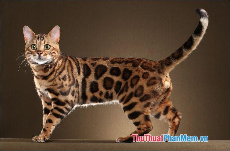 Mèo Bengal (Mèo vằn hổ)