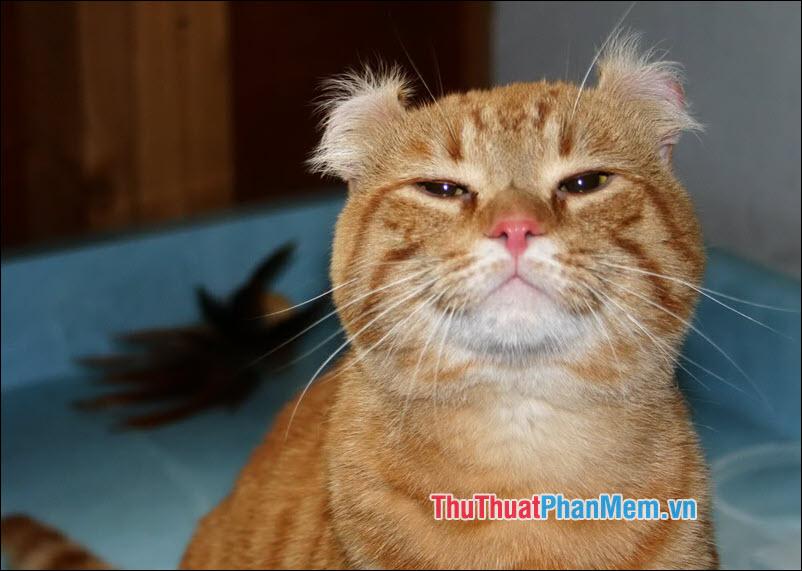 Mèo Mỹ tai xoắn
