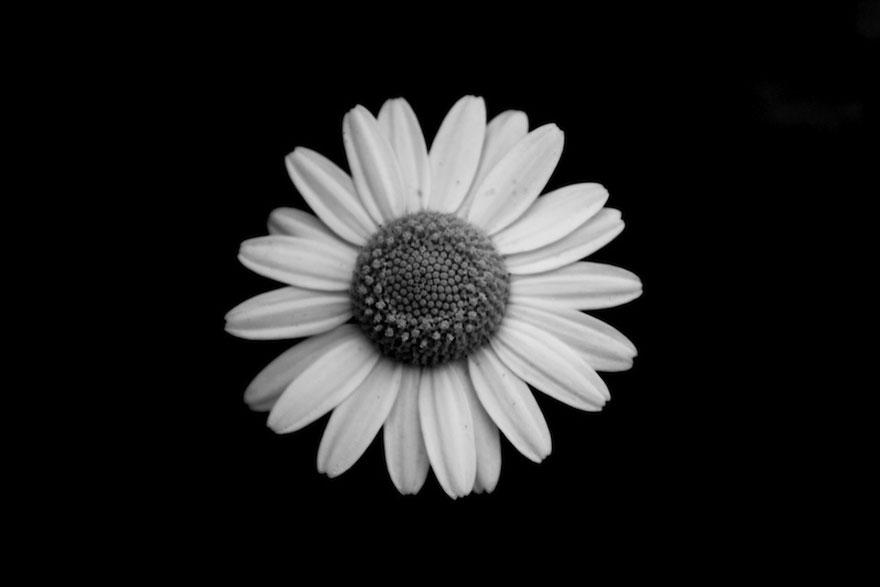 Ảnh bông hoa trắng đen đẹp