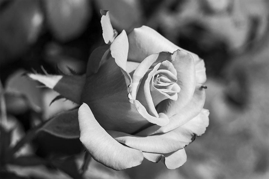 Hình ảnh hoa hồng trắng đen đẹp