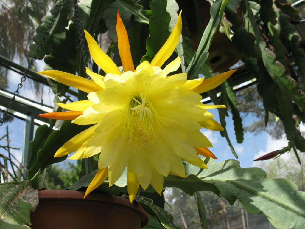 Ảnh cây hoa Quỳnh đẹp