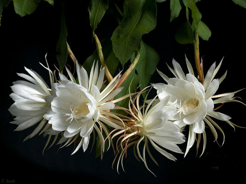Ảnh đẹp về hoa Quỳnh
