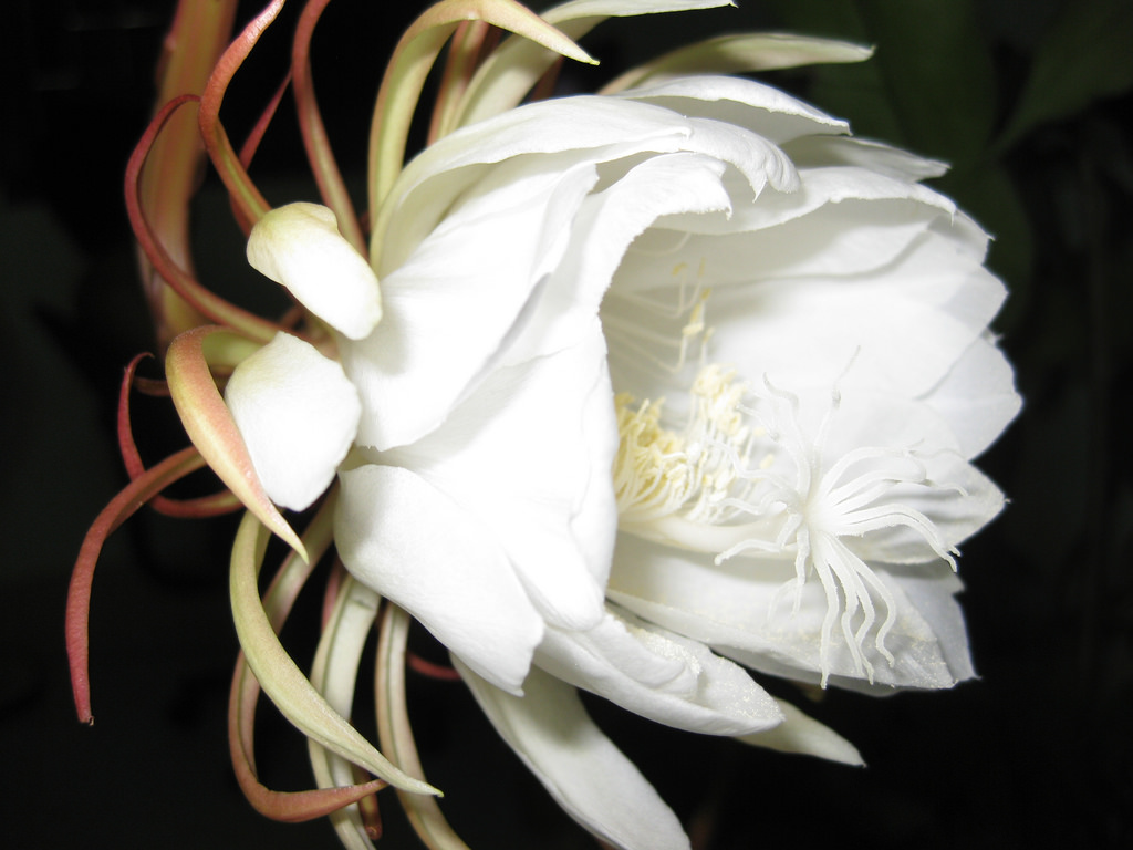 Ảnh hoa Quỳnh cực đẹp