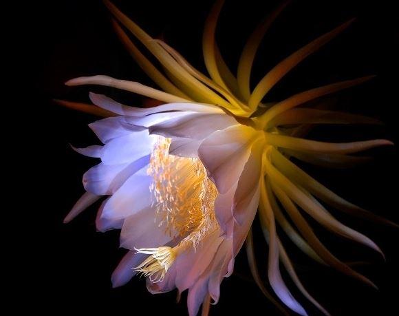 Ảnh hoa Quỳnh đẹp